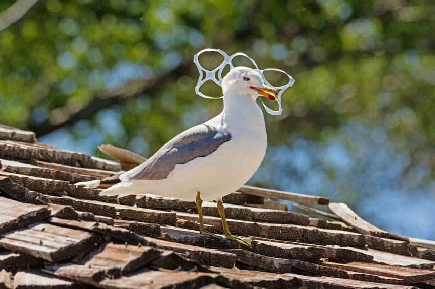 Gull Trapped In Plastic